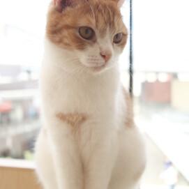 【3F 猫カフェ】猫スタッフのご紹介vol.18 ももすけ