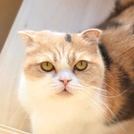 【3F 猫カフェ】猫スタッフのご紹介vol.25 あんず